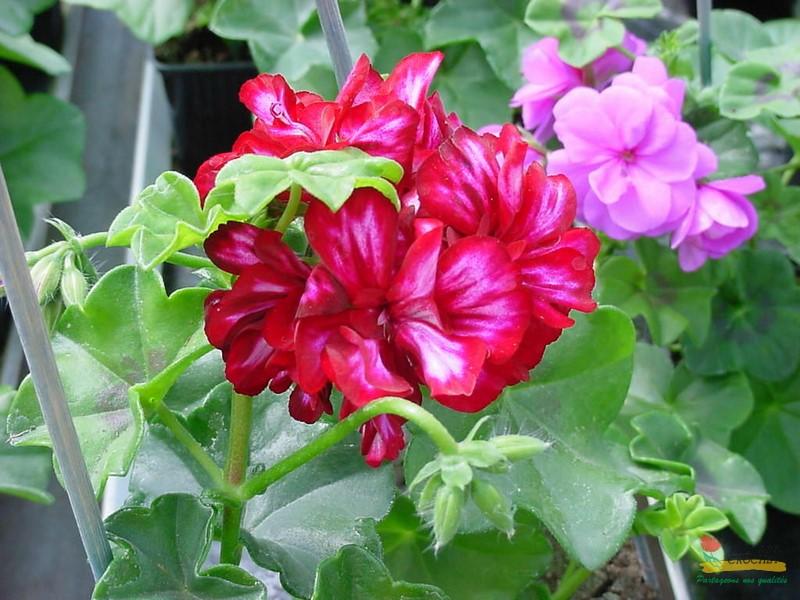 Les g raniums 2 bellard crochet productions horticoles - Geranium lierre double retombant ...