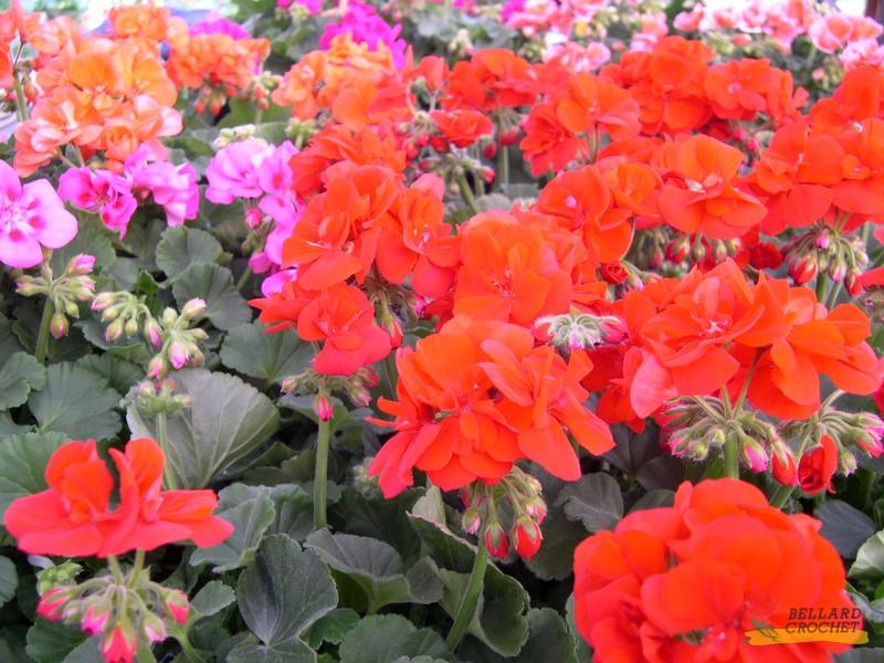 Plantes d 39 ext rieur du printemps bellard crochet for Geranium d interieur