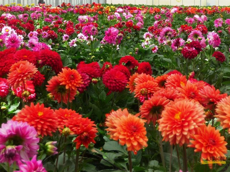 plantes d 39 ext rieur du printemps bellard crochet productions horticoles. Black Bedroom Furniture Sets. Home Design Ideas