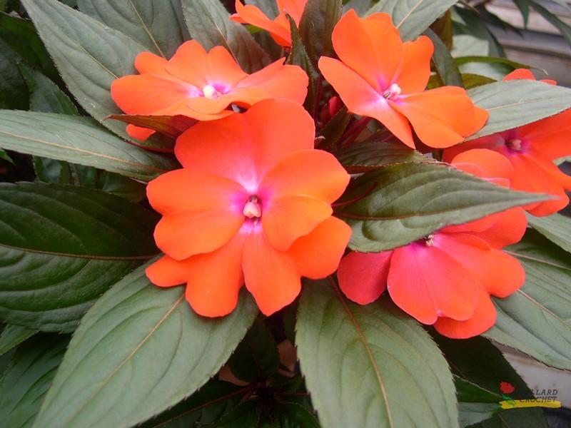 Les plantes bellard crochet productions horticoles - Impatiens de nouvelle guinee ...